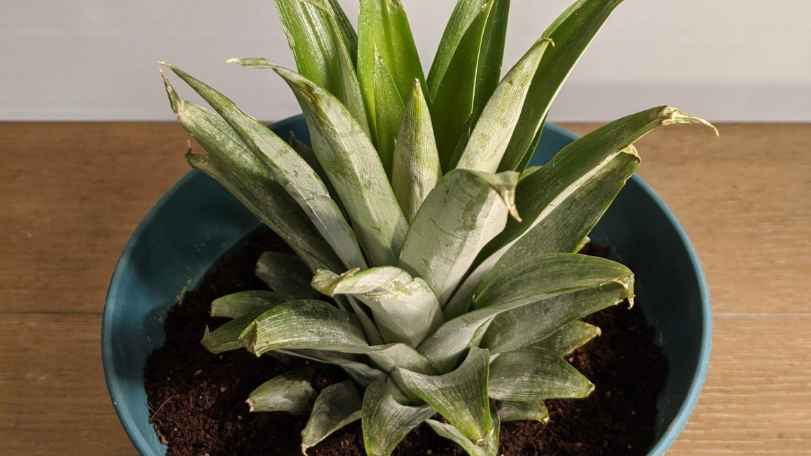 A Pineapple Plant from a Pineapple Top